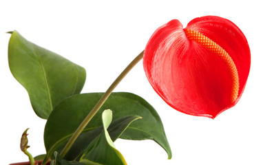 Flowers - Anthurium on white background
