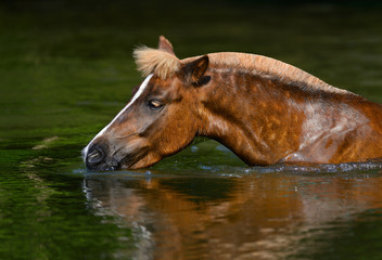 Sorrel Highland pony drinking in a pond