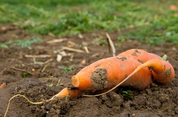Karotte auf dem Feld