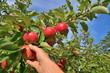 Hand erntet Äpfel
