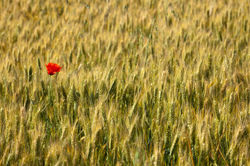Lonely poppy in a wheat field