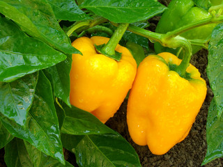 orange peppers ripening among the leaves