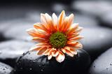 Fototapety Single gerbera flower on pebbles