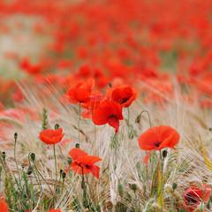 Poppies © felinda