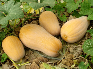 butternut squashes ripening on a vine