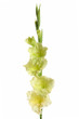 gladiolus flower unusual green color on a white background
