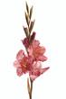 gladiolus varieties rariter on a white background