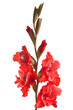 red gladiolus varieties Silver mirage on a white background