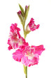 hot pink gladiolus brand new Cardinal on a white background
