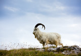 Cashmere goat at North Wales