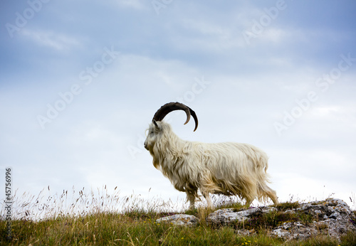 Leinwandbild Motiv Cashmere goat at North Wales