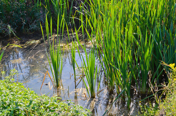 Reeds on the pond