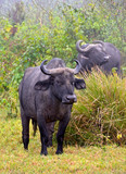 African Buffalo standing calmly on the grass in jungle
