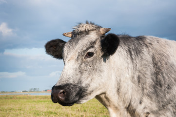 Close-up of a gray cow
