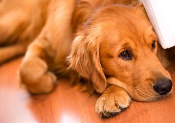 Beautiful dog at home