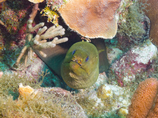 Green moray (Gymnothorax funebris)