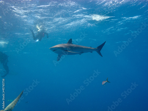 Silky shark (Carcharhinus falciformis) and diver