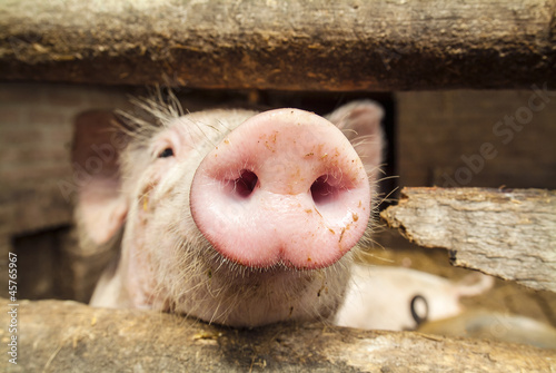 Curious small newborn pig in a stable