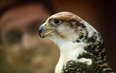 Gyrfalcon, or gerfalcon, Falco rusticolus