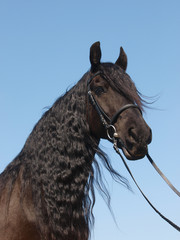 Head Shot Of Friesian Horse