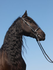 Head Shot Of Friesian Horse