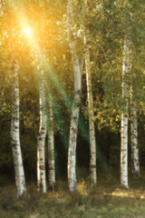birch trees in a autumn