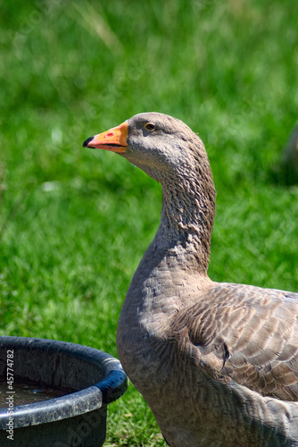 Domestic Goose at Water Troth