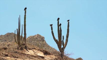 Desert Landmark, Jackall