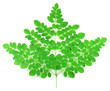 Fresh edible moringa leaves