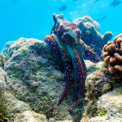 Octopus on Coral Tropical Reef, Maldives