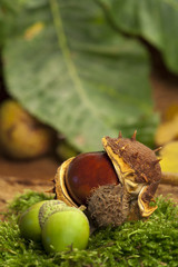 Two acorns and one horse chestnut on green moss