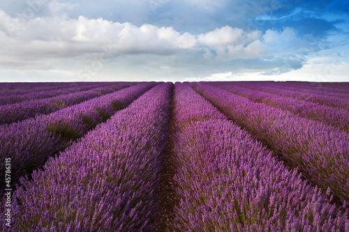 Beautiful lavender field landscape with dramatic sky © veneratio