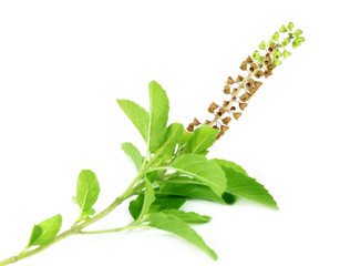 Medicinal holy basil or tulsi leaves and flowers