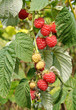 Ripe raspberries on a branch