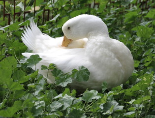clean white duck feathers on the farm