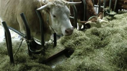 Kühe beim Fressen im Stall