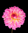 Pink dahlia isolated on black