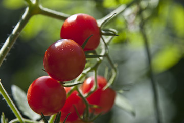 Fully Ripe Cherry Tomatoes