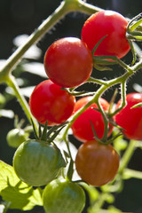 Cherry Tomatoes in Different Stages of Growth