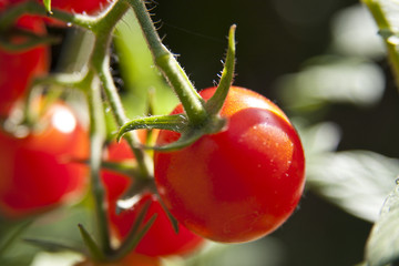 Closeup of Cherry Tomato