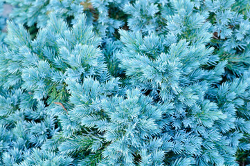 Evergreen Juniper Shrub