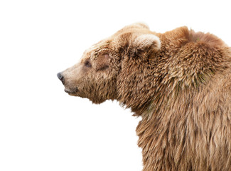 isolated bear
