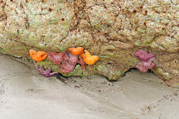 Colorful Starfish at Low Tide