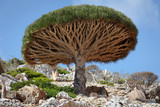 Dragon tree, Socotra island, Yemen