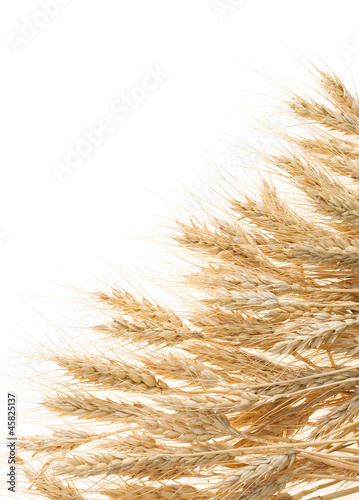 ripe ears of barley isolated on white