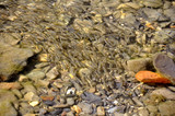 A flock of young Caucasian chub fish in the river shallows