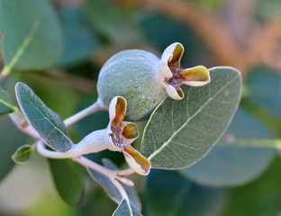 Feijoa (Myrtle berry) on a branch