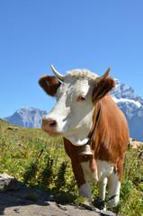 Swiss cow. Jungfrau region, Switzerland
