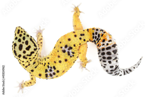Leopard gecko on white background.