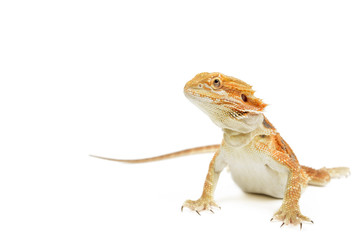 Red bearded dragon on white background.